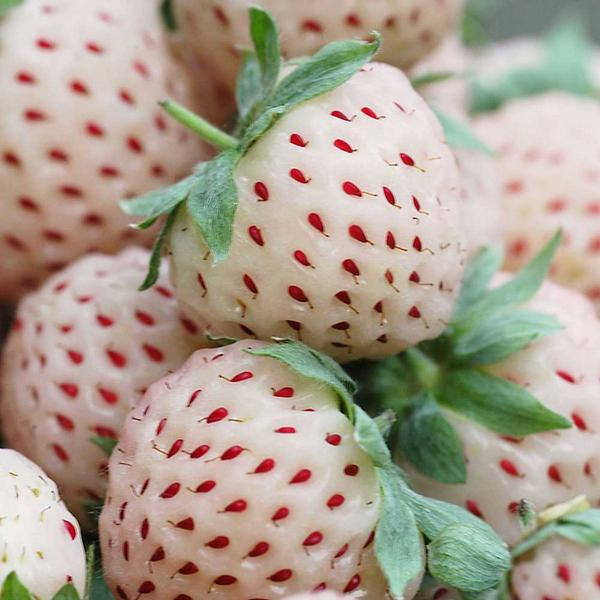 TRUE: Pineberries: White Strawberries That Taste (Somewhat) Like Pineapples