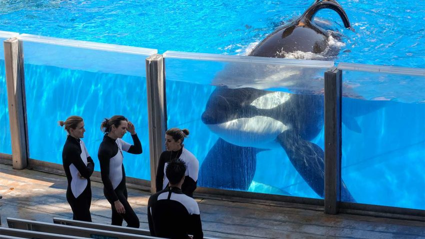 As SeaWorld stops breeding orcas, what are the impacts for research? By David GrimmMar. 17, 2016 , 2